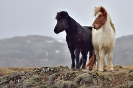 Two Icelandic horses on a ridge in southern Iceland